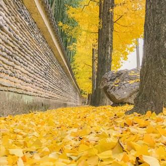 今宮神社銀杏