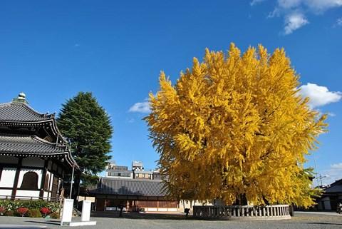 西本願寺銀杏