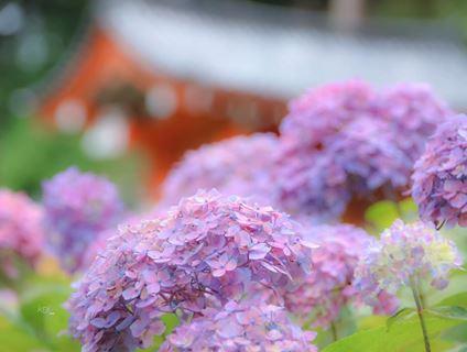 三室戶寺紫陽花