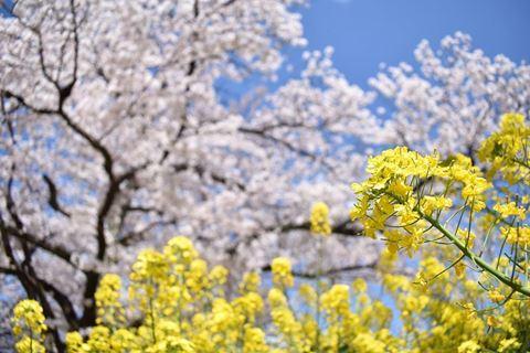 山科疏水櫻花