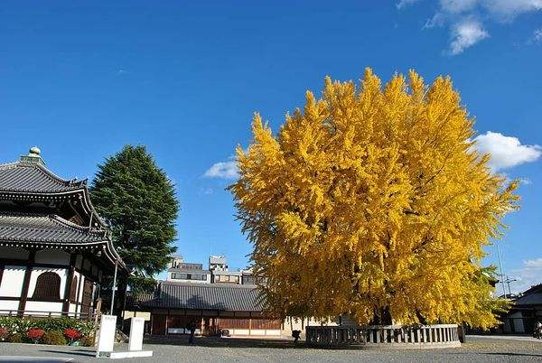 京都賞楓景點西本願寺